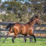 Bull Point stallion at Kingstar Farm 2020