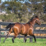 Bull Point stallion at Kingstar Farm 2020